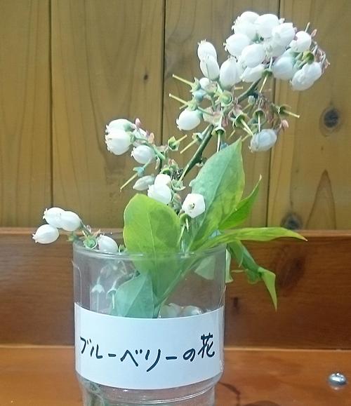 ブルーベリーの花が満開です 道の駅みなみ波賀農園