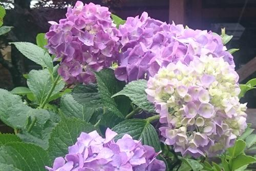 梅雨に咲く花といえば紫陽花 道の駅みなみ波賀 紫陽花歩道