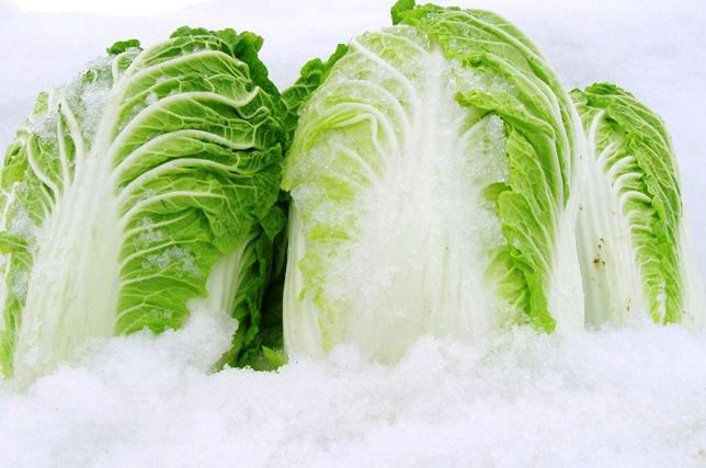 雪の下白菜